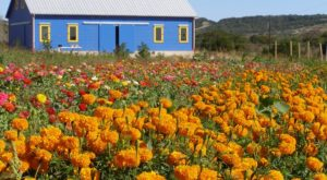 Get Lost In This Beautiful 20-Acre Wildflower Farm In Texas