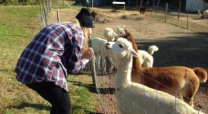 There's A Bed and Breakfast On This Alpaca Farm In Maine And You Simply Have To Visit