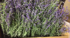 Indiana's Annual Lavender Festival Belongs On Your Springtime Bucket List