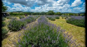 Texas' Annual Lavender Festival Belongs On Your Springtime Bucket List
