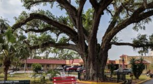 There's No Other Historical Landmark In Florida Quite Like This 600-Year-Old Tree