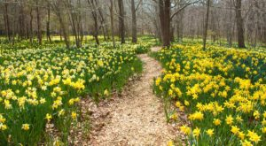The Quiet Woodland In Massachusetts Where You Can See Thousands Of Daffodils In Bloom