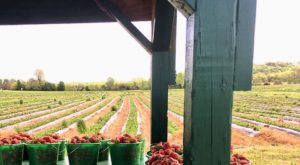 A Visit To This Pick-Your-Own Berry Farm Near Nashville Will Make Your Spring Complete