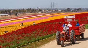 Immerse Yourself In A Sea Of Color At This One-Of-A-Kind Flower Field On The West Coast