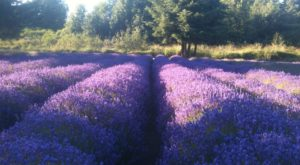 Washington's Annual Lavender Festival Belongs On Your Summer Bucket List