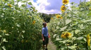 There's A 6-Acre Sunflower Maze In Florida That's Just As Magnificent As It Sounds