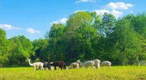 Visit This Illinois Alpaca Farm For A Fun And Fuzzy Adventure