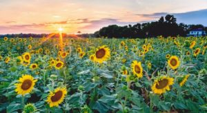 You Don't Want To Miss This Incredible Sunflower Festival Happening In Louisiana
