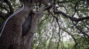 There's No Other Historical Landmark In Austin Quite Like This 500-Year-Old Tree