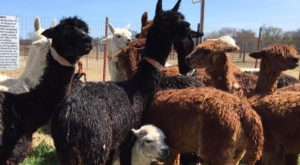 Visit This Oklahoma Alpaca Farm For A Fun And Fuzzy Adventure