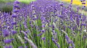 Get Lost In This Beautiful Lavender Farm In South Carolina