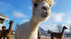 Visit This Maine Alpaca Farm For A Fun And Fuzzy Adventure