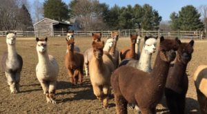 Visit This New York Alpaca Farm For A Fun And Fuzzy Adventure