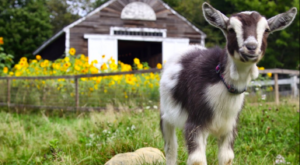 Snuggle Goats And Eat Burritos At This Exceptionally Unique Spring Farm Experience In Maine