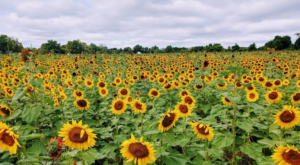 Most People Don't Know About This Magical Sunflower Field Hiding Near Buffalo