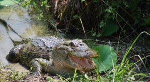 It's Prime Season For Alligators In This Corner Of Oklahoma That Looks Like A Marshland