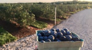 The Magical Farm In Oklahoma Where You Can Pick Your Own Yummy Blueberries
