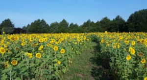 This U-Pick Sunflower Farm In Texas Is The Perfect Way To Spend An Afternoon
